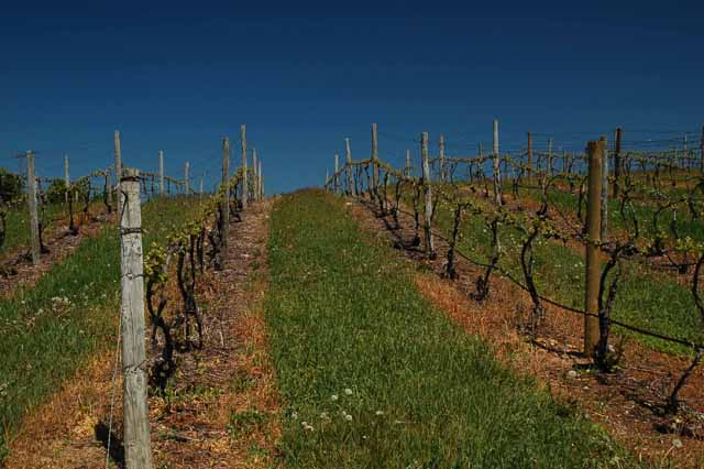 close up of vineyards on OMP
